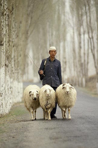 Sheep that REALLY Follow Their Shepherd