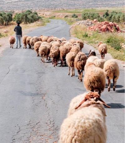 Discipleship What Sheep Can Teach Us