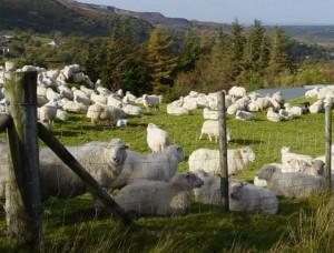 sheep in pen sml