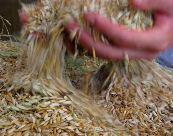 scooping grain