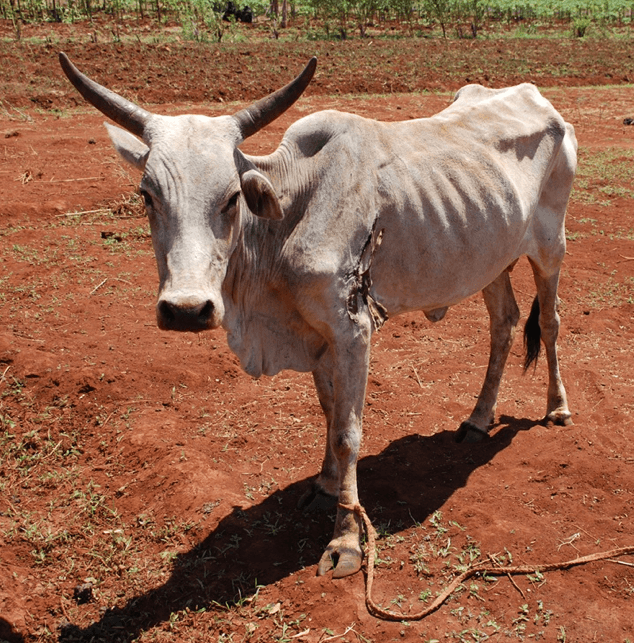 Gaunt cow