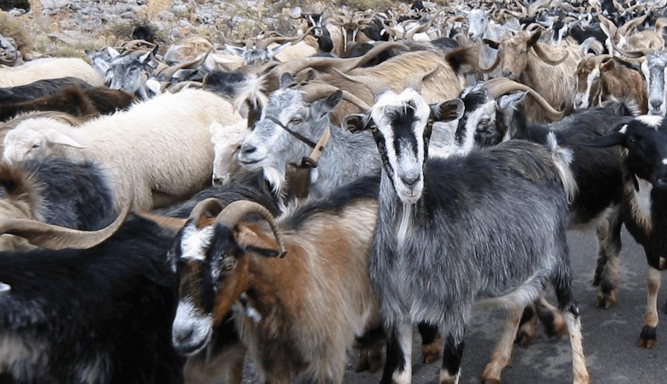 Wiki Herd Goats