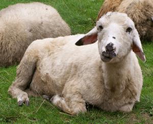 Lamb - Wiki